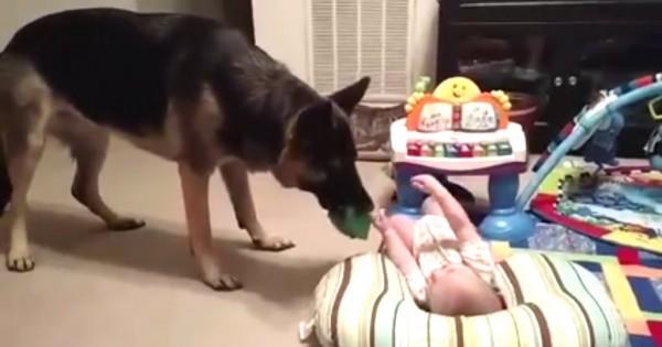 O γερμανικός ποιμενικός δεν έχει ξαναδεί μωρό – Δείτε τι συμβαίνει όταν συναντιούνται! (Βίντεο)