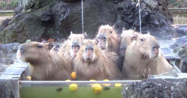 Αυτοί οι υδρόχοιροι κάνουν το πιο χαλαρωτικό μπάνιο που έχετε δει!