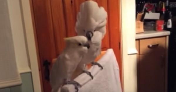 Αυτός ο παπαγάλος είναι ίσως ο πιο φανατικός θαυμαστής του Elvis! (Βίντεο)
