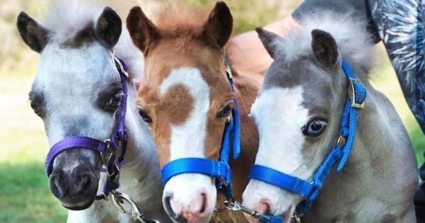 Ένα άλογο-μινιατούρα την ημέρα, τον γιατρό τον κάνει πέρα! (Εικόνες)