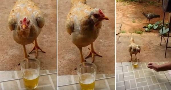 Αυτή η «μεθυσμένη» κότα δεν θέλει κανείς να της πειράζει την μπύρα της! (Βίντεο)