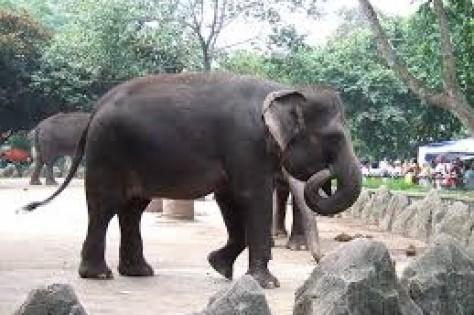 Λαθροκυνηγοί σκότωσαν τον διάσημο ελέφαντα της Σουμάτρας