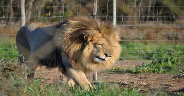 Έχετε δει λιοντάρι να κλαίει;;;Αυτό το λιοντάρι διασώθηκε από το τσίρκο – Δείτε πως έκανε όταν ένιωσε για πρώτη φορά το γρασίδι! (video)