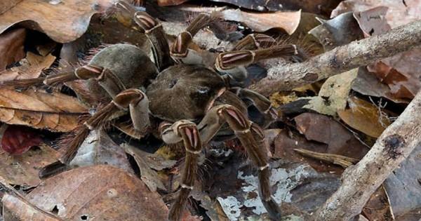 Επιδρομή από αράχνες σε μέγεθος αρουραίου σπέρνουν τον τρόμο (φωτο)