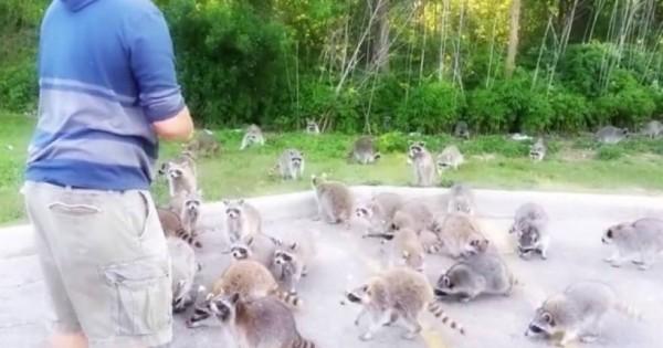 Δείτε γιατι τρελάθηκαν αυτά τα ρακούν…(βίντεο)