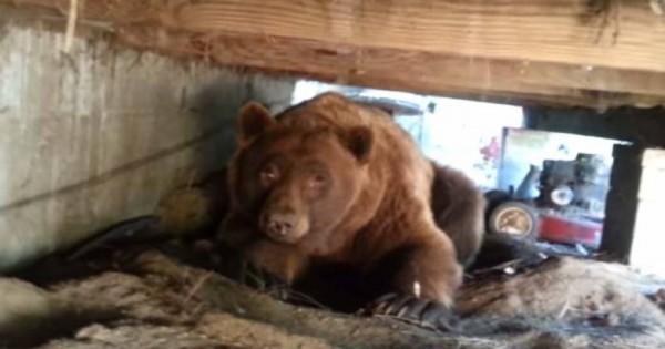 Βρήκε μία αρκούδα κάτω από το σπίτι του – Δείτε την αντίδρασή της [βίντεο]