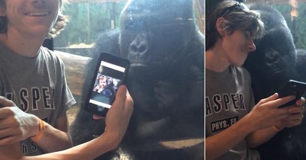 Η Απρόσμενη αντίδραση ενός Γορίλα, όταν ένας νεαρός του δείχνει φωτογραφίες πιθήκων στο κινητό του! (Βίντεο)