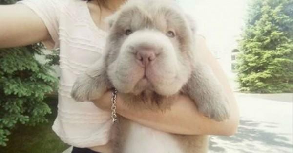 O Tonkey! To σπάνιο, αλλά εντελώς αληθινό κουτάβι που μοιάζει με λούτρινο αρκουδάκι (Εικόνες)