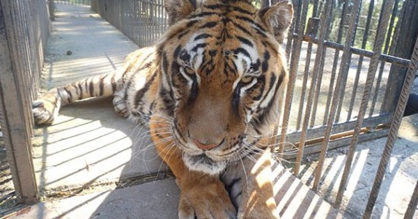 Πέθανε ο Φοίβος, ο τίγρης των Τρικάλων (Βίντεο)