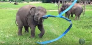 Το ελεφαντάκι λατρεύει την μπλε κορδέλα του (Βίντεο)
