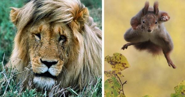 Το λιοντάρι με χτένισμα κομμωτηρίου και ο σκίουρος- νίντζα (Εικόνες)