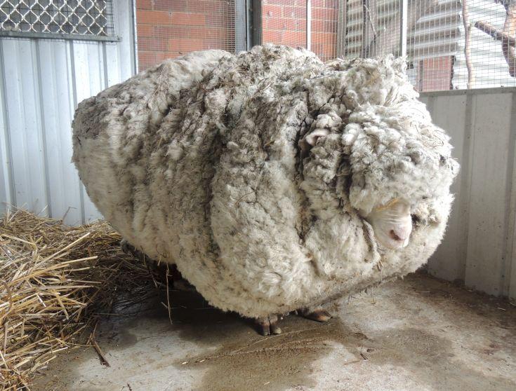 Πρόβατο