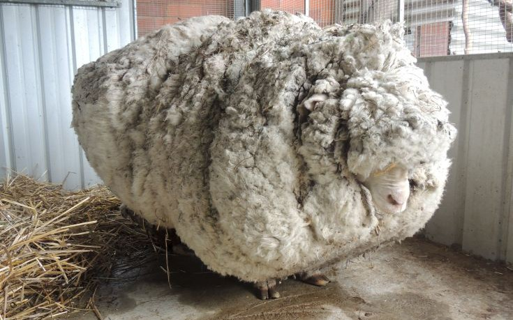 An Australian sheep, named Chris by his rescuers, is pictured before being shorn of over 40 kilograms (88.2 lbs) of wool on September 3, 2015, after being found near Australia's capital city Canberra. Unofficially the world's woolliest sheep, Chris was found near Mulligan's Flat on the northern outskirts of Canberra on Wednesday and was said to be struggling to walk under the weight of his coat.   REUTERS/RSPCA/Handout via Reuters        ATTENTION EDITORS - THIS PICTURE WAS PROVIDED BY A THIRD PARTY. REUTERS IS UNABLE TO INDEPENDENTLY VERIFY THE AUTHENTICITY, CONTENT, LOCATION OR DATE OF THIS IMAGE. NO SALES. NO ARCHIVES. FOR EDITORIAL USE ONLY. NOT FOR SALE FOR MARKETING OR ADVERTISING CAMPAIGNS. THIS PICTURE IS DISTRIBUTED EXACTLY AS RECEIVED BY REUTERS, AS A SERVICE TO CLIENTS      TPX IMAGES OF THE DAY