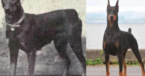 Ενδιαφέρουσες φωτογραφίες με σκυλιά για το πώς έχουν εξελιχθεί τα τελευταία 100 χρόνια.