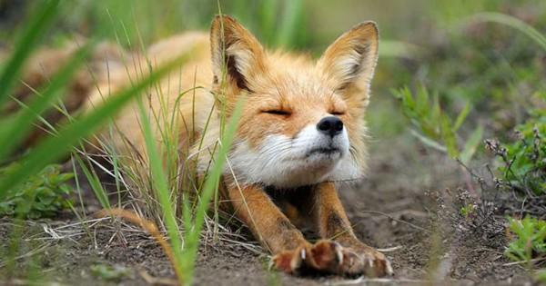 26 υπέροχες φωτογραφίες που αποδεικνύουν πόσο παρεξηγημένο ζώο είναι η αλεπού (Φωτογραφίες)