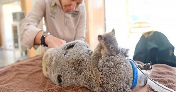 Συγκινητικό: Μωρό κοάλα κρατάει την τραυματισμένη μαμά του που κάνει εγχείρηση (Εικόνες)