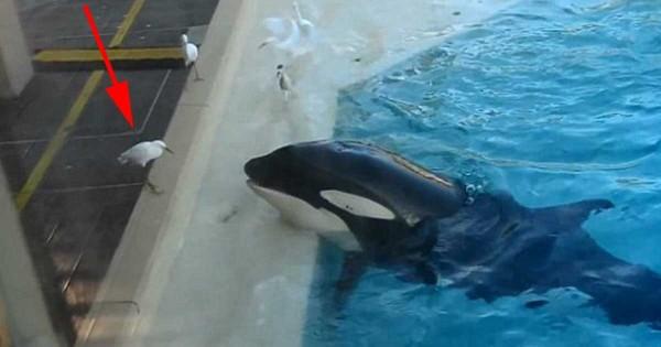Δείτε τι κάνει αυτή φάλαινα-δολοφόνος για να ξεγελάσει το θύμα της. (Βίντεο)