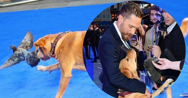 Ο ηθοποιός Tom Hardy πήρε τον σκύλο του στην πρεμιέρα του 'Legend' και εντυπωσίασε τους πάντες (Εικόνες)