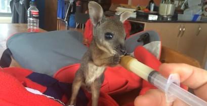 Ταΐζοντας ένα νεογέννητο καγκουρό (Βίντεο)