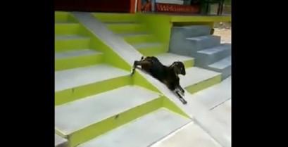 Η κατσίκα κάνει τσουλήθρα (Βίντεο)