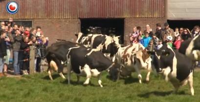 Οι ευτυχισμένες αγελάδες (Βίντεο)