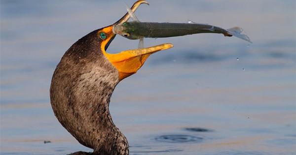Πτηνά ψαρεύουν στον αέρα! (Εικόνες)
