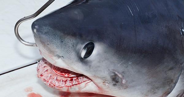 Στο κυνήγι του μεγαλύτερου καρχαρία (Εικόνες)