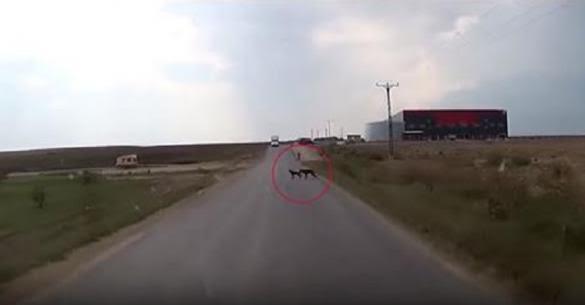 Σκύλος κάνει το αδιανόητο για να σώσει τον φίλο του από το να τον χτυπήσει αυτοκίνητο. (Βίντεο)