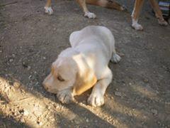 χαρίζονται σκύλοι Χαρίζονται κουταβάκια Χαρίζονται Σκύλος