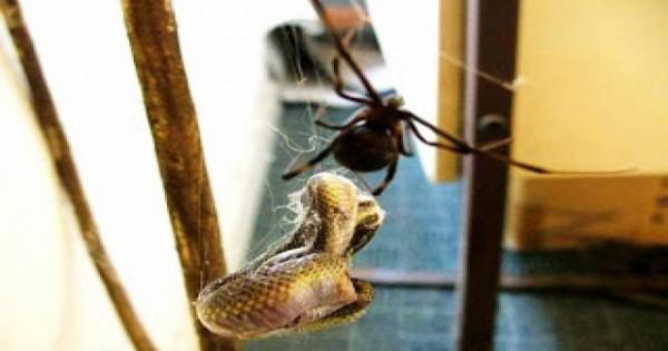 Εφιάλτης! Δείτε τι συμβαίνει αν σκοτώσεις μία θηλυκή αράχνη (Βίντεο)