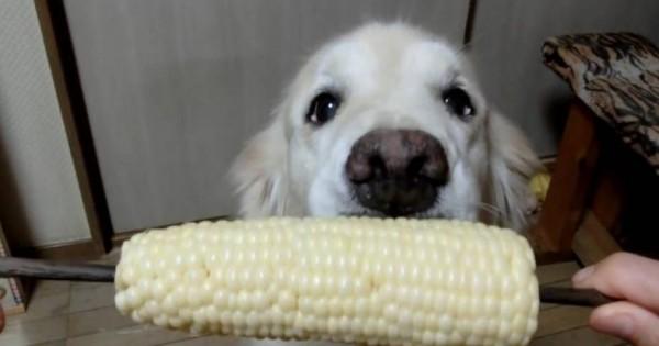 Έχετε δει σκύλο να τρώει καλαμπόκι; – Δείτε πως απολαμβάνει τη λιχουδιά του (βίντεο)