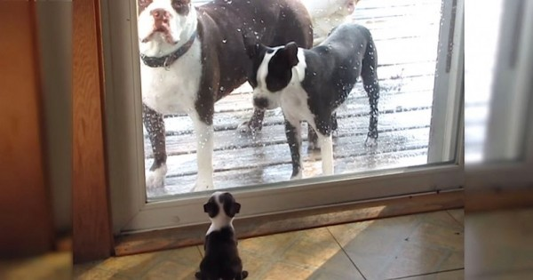 Οι γονείς ενός μικρού κουταβιού στέκονται έξω από την πόρτα και το κοιτάζουν. Δείτε τώρα την αντίδραση του κουταβιού! (Βίντεο)