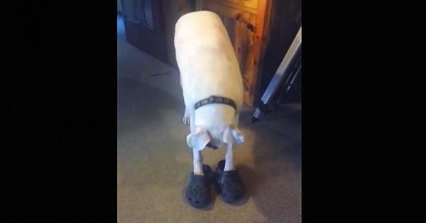 Έχετε δει σκύλο να περπατάει με… Crocs; (Βίντεο)