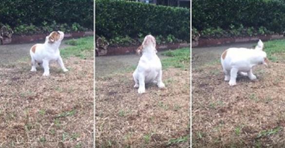 Δείτε την αντίδραση αυτού του μπουλντόγκ που απολαμβάνει την πρώτη του βροχή. (Βίντεο)