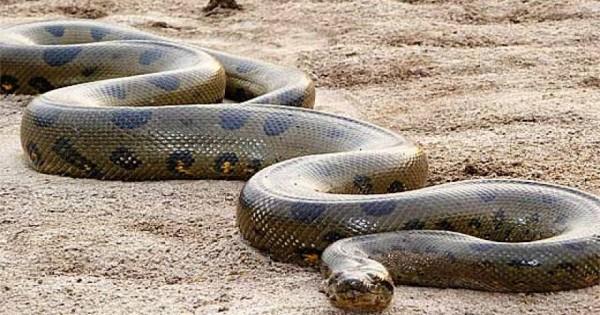 Κάμερα κατέγραψε το μεγαλύτερο φίδι στον κόσμο! [βίντεο]