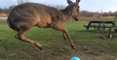 Ένα μικρό ελάφι θέλει να παίξει με τη μπάλα (Βίντεο)