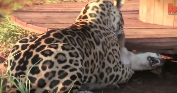 Μια απρόσμενη φιλία: Έχετε δει ποτέ τζάγκουαρ να παίζει με σκύλο; (Βίντεο)