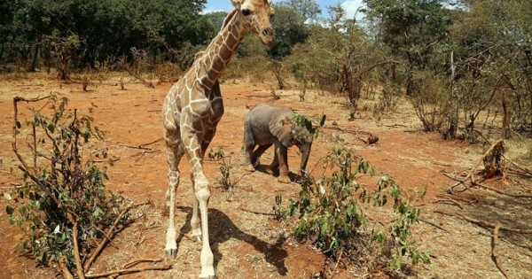 Ελέφαντας και καμηλοπάρδαλη έγιναν «αυτοκόλλητοι» μετά τη διάσωσή τους (Εικόνες)