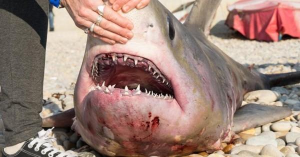 Ο καρχαρίας που προκάλεσε αίσθηση στη Βρετανία (Εικόνες)