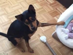 Σκύλος-νταντά κουνά την κούνια του μωρού για να το κοιμήσει (Βίντεο)
