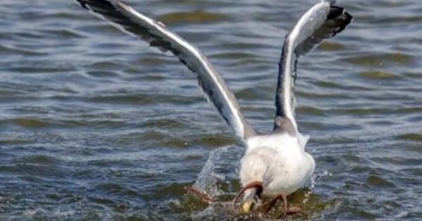 Σπάνιες φωτογραφίες δείχνουν την μάχη ενός γλάρου εναντίον χταποδιού! (Εικόνες)
