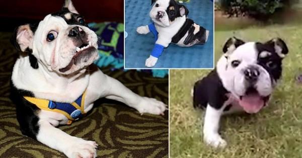 Ο Μπονσάι, το σκυλάκι με τα δύο πόδια κερδίζει καρδιές σε όλο τον κόσμο! (Βίντεο)