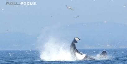 Φάλαινα δολοφόνος εκσφενδονίζει μια φώκια στον αέρα (Βίντεο)