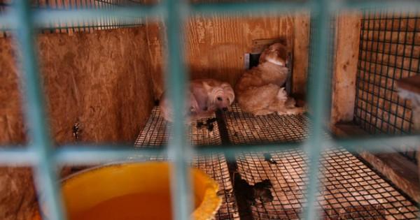 Αυτά τα κουταβάκια ήξεραν μόνο τη ζωή σε ένα τραγικό εκτροφείο…Δείτε όμως πώς είναι τώρα! (Εικόνες)