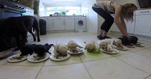 10 κουτάβια λαμπραντόρ τρώνε για πρώτη φορά (Video)