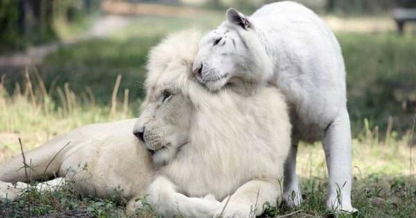 Ένα λευκό λιοντάρι και μια λευκή τίγρης έκαναν μωρά! Δεν φαντάζεστε πόσο όμορφα είναι! (Εικόνες)