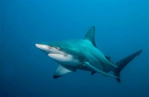 Γιατί έχουν αγριέψει οι καρχαρίες στην Αυστραλία;