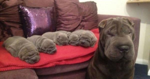 25 σκυλιά ποζάρουν με τις μινιατούρες κουτάβια τους και κάνουν και την πιο σκληρή καρδιά να λιώσει. (Εικόνες)