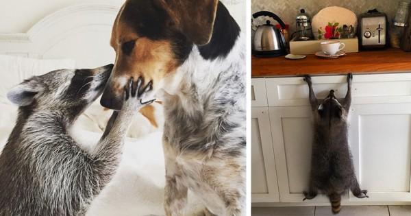 Οικογένεια σκύλων σώζει ρακούν γιατί νομίζει ότι είναι σκύλος. (Εικόνες)