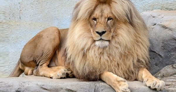 Το πιο… καλοχτενισμένο λιοντάρι στον κόσμο (Φωτογραφίες)